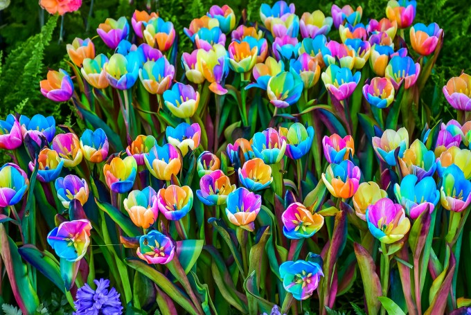 GettyImages-495329752-Rainbow Tulip