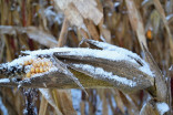 It has 'not been the easiest harvest' for Ontario corn farmers