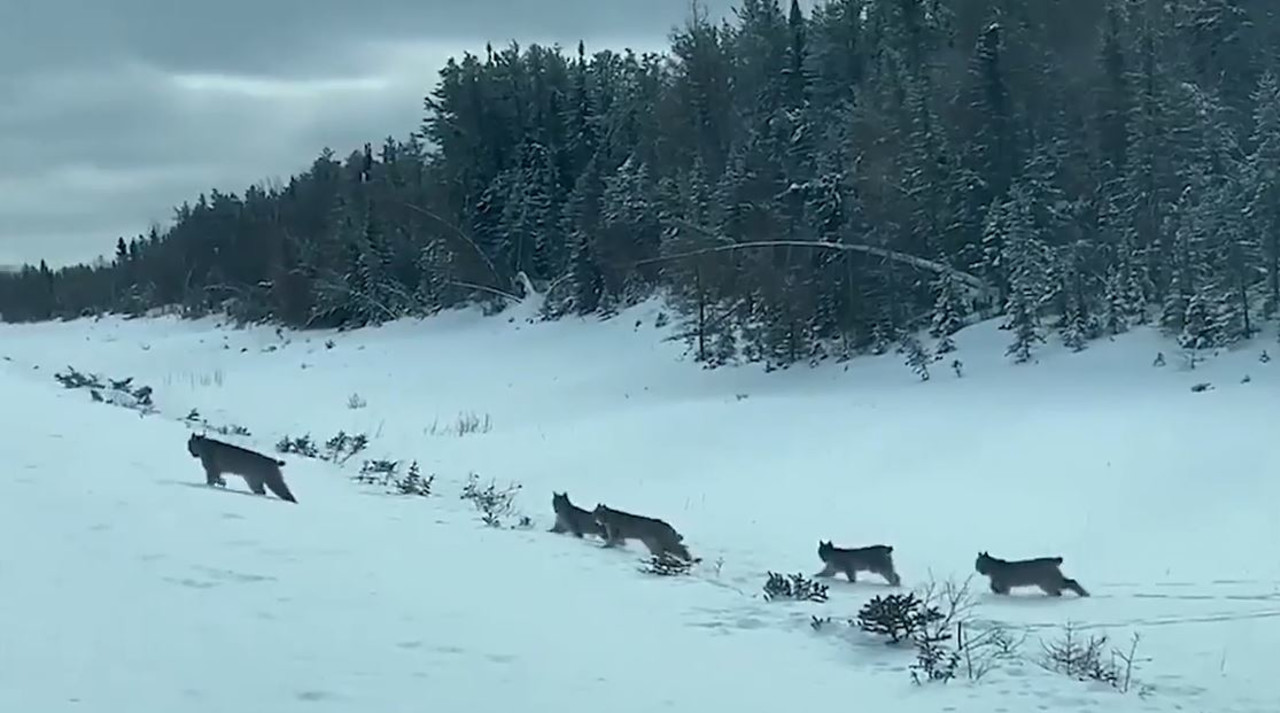 MUST-SEE: Lynx mom and kittens spotted crossing Manitoba road