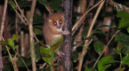 Hibernating lemurs may be the key to cryogenic sleep for human space travel