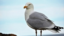 B.C. man dodges $8,000 fine for destroying seagull nest