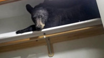 Large bear breaks into home, falls asleep in closet