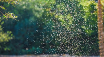 Swarms of midges cover lakeshores in Ontario