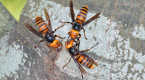 Asian giant hornets: A lot more buzz than sting, experts say