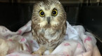 Little owl doing well after being rescued from Rockefeller Christmas tree