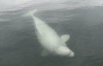 Beluga whale gives Nova Scotia fisherman a surprise of a lifetime
