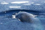 Blue whales are finally returning to polar regions after 40 years, study finds