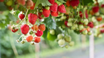 Hung up about B.C.'s strawberry fields: How weather altered the season