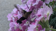 It's a tiny bird? A hummingbird, perhaps? No, it's a moth!