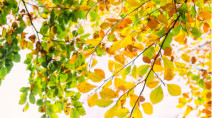 Why do leaves change colour in the fall?