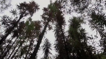 Dinosaur-era pines survive Australia wildfire