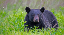 Avoiding a black bear attack: What you need to know