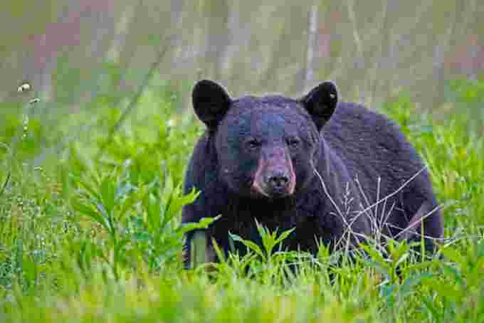 Black bear/Getty Images
