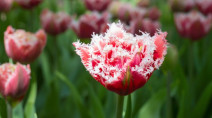 Photos: The world's most unsual tulips