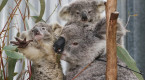 Australia's 'black summer' bushfires killed or harmed more than 60,000 koalas