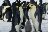 Antarctica's penguins are in crisis; drowning, not breeding