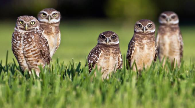 burrowing owls - wikipedia