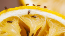 Got fruit flies? Here are six ways to get rid of them