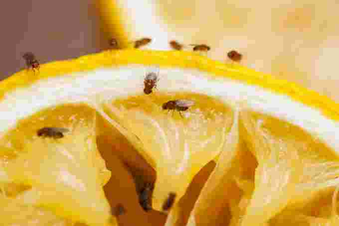 fruit fly - GettyImages-174766622