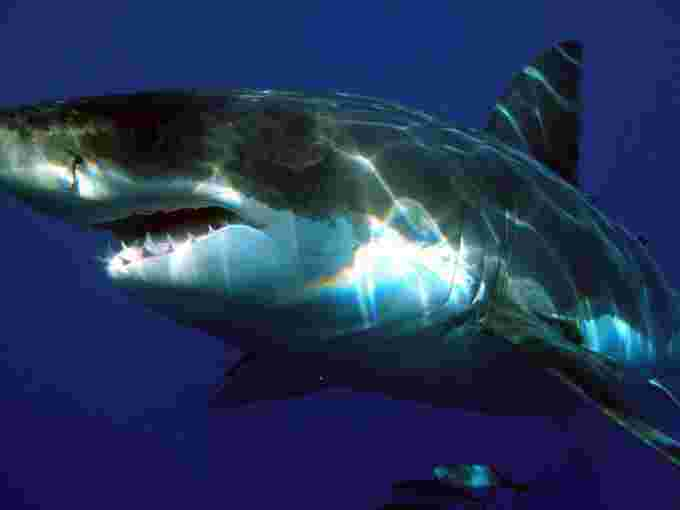 Great white shark / Sharkdiver68 / Wikipedia