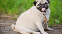 Time for a walk: New report warns of rising pet obesity