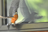 Watch an angry robin repeatedly dive-bomb a squirrel