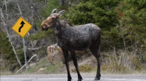 Experts note uptick in wildlife wandering from U.S. into Canada