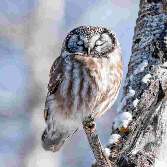 Boreal owl spotted in Calgary. Courtesy: Kyle Brittain