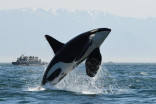 New regulations aim to protect killer whales from nearby fishing year round