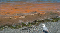 Rusty 'red tide' washes into BC coast, oyster recall issued