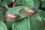 Billions of cicadas forecast to emerge this spring