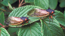Trillions of cicadas forecast to emerge this spring
