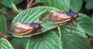 Hot cicada summer: Billions of bugs set to emerge fom underground