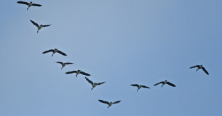 This is why geese fly in the shape of a 'V'