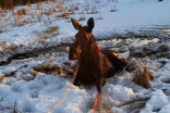 Man has second thoughts about hunting after rescuing moose
