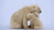 International Polar Bear Day draws attention to the changing climate