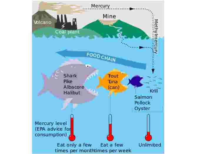 mercury bioaccumulation wikipedia