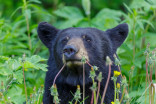Bears on the prowl in B.C.: Here's how to stay safe