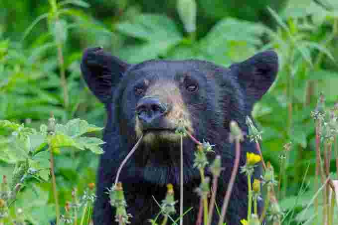 black bear wiki cc