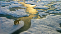 Most polar bears could be extinct by 2100 as the Arctic warms