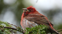 Fatal wild bird disease suspected to be back in N.S.