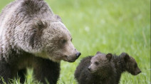 B.C. man survives attack by mother grizzly protecting cubs