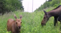 Watch a baby moose grow over the summer