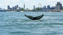 Humpback whale seen swimming in the St. Lawrence River in Montreal