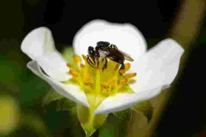 Stingless bee / Tobias Smith, UQ