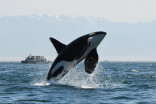 Missing B.C. killer whales 'presumed dead,' only 73 left in group