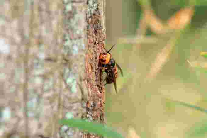 Asian giant hornet/Getty Images
