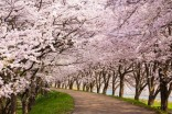 Japan sees earliest cherry blossom season in 1,200 years