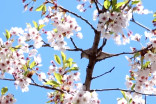 Cherry blossom bloom will make it 'impossible' to maintain proper distance