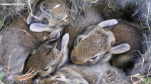 Found bunnies on your property? Here's what to do